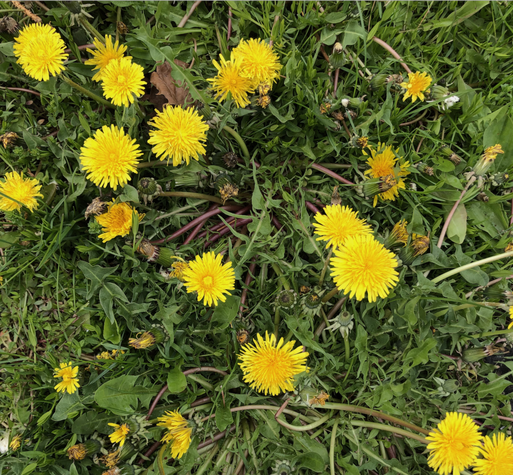 A close-up of beautiful yellow dandelions